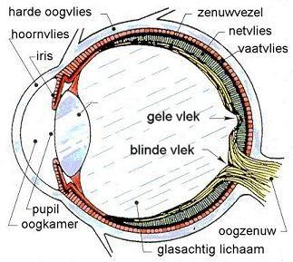Doorsnee oog